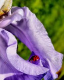 The Iris and the Ladybug by snapshooter87, photography->nature gallery