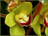 Cymbidium Orchid by trixxie17, photography->flowers gallery