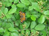Flying Flower by Hottrockin, Photography->Butterflies gallery