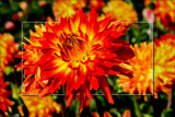 Dahlia Show 40 by corngrowth, photography->flowers gallery