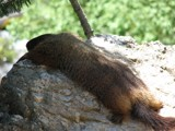 Tired Marmot by AeroEagle, Photography->Animals gallery