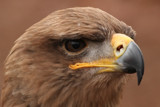 Tawny Eagle Portrait by egggray, Photography->Birds gallery