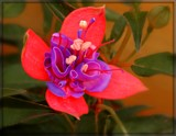 Fuschia by trixxie17, photography->flowers gallery