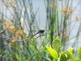 Dragon Fly by Dextar_111, photography->insects/spiders gallery