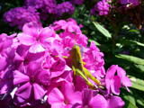 Grasshopper among the Phlox by Pistos, photography->flowers gallery