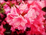 Late Blooming Azalea by trixxie17, photography->flowers gallery