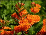 Butterfly Milkweed by trixxie17, photography->flowers gallery
