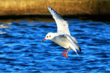 Gull 5 by braces, Photography->Birds gallery