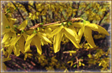 Forsythia in the Morning by trixxie17, photography->flowers gallery