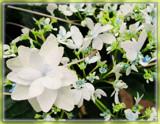 Shooting Star Hydrangea by trixxie17, photography->flowers gallery