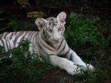 Portrait of a white tiger (kitty) by spoton, Photography->Animals gallery