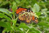 The Beautiful Monarch Butterfly by louis22, Photography->Butterflies gallery