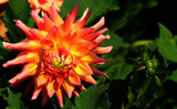 From The Dahlia Gardens by tigger3, photography->flowers gallery