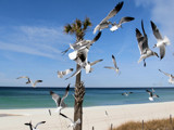 Laughing Gulls by Cosens, Photography->Birds gallery