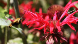 The Hummingbird Moth by tigger3, photography->action or motion gallery