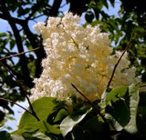 Japanese Lilac Tree by trixxie17, photography->flowers gallery