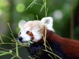 Red Panda by Sengir, Photography->Animals gallery