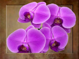 Orchids by bikolnon, Photography->Flowers gallery