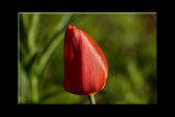 Tulip Bud by tigger3, Photography->Flowers gallery