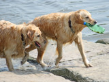 Two golden retriever dogs back from a nice dip in the water by dw, Photography->Pets gallery