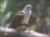 Brahmin Kite by priyanthab, photography->birds gallery