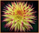 """Dahlia Series - #2 """"Sunburst"""" by trixxie17, photography->flowers gallery"""