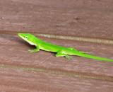 A Florida native by GomekFlorida, photography->reptiles/amphibians gallery