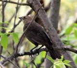 Brown Bird by Pistos, photography->birds gallery