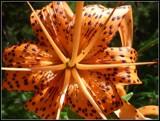 Image: Lilium Michiganense