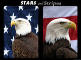 Stars and Stripes by Hottrockin, Photography->Birds gallery