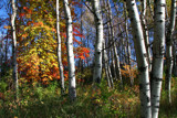 Aspen Wood by Silvanus, photography->nature gallery