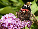 Vlinder by Paul_Gerritsen, Photography->Butterflies gallery