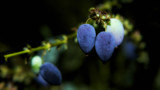 Purple Berries by coram9, photography->nature gallery