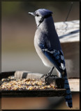 The Blue Jay by tigger3, photography->birds gallery