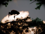 Wood Stork in silhouette by Janromeo, Photography->Birds gallery