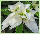 Final Poinsettia by trixxie17, holidays->christmas gallery