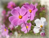 Cosmos by LynEve, photography->flowers gallery