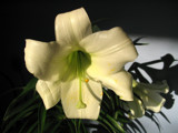 Easter Lily 3 by June, Photography->Flowers gallery