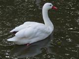 Coscoroba Swan by gonedigital, Photography->Birds gallery