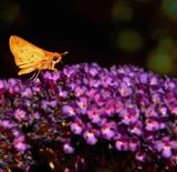 Skipper on Butterfly bush by trixxie17, photography->butterflies gallery