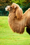 I Already Have A Camel-Hair Coat, Thank You. by braces, Photography->Animals gallery