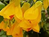 Albutilon by trixxie17, photography->flowers gallery