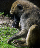 Baboon by mesmerized, photography->animals gallery