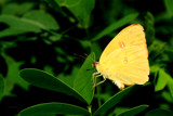 Yellow On Green by 100k_xle, Photography->Butterflies gallery