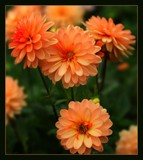 In The Dahlia Garden #20 Little Orange Ones by LynEve, photography->flowers gallery