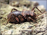 Horned by boremachine, photography->insects/spiders gallery
