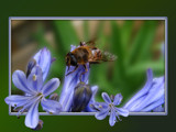 Bee on Agaphantis by wimida, Photography->Insects/Spiders gallery