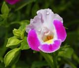 Wishbone Flower by trixxie17, photography->flowers gallery