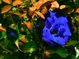 Blue Rose by ninjatabby, photography->manipulation gallery