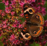 The Buckeye_A Defries Garden Capture by tigger3, photography->butterflies gallery